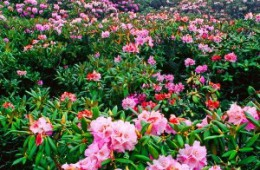 Rhododendrons in May 2012