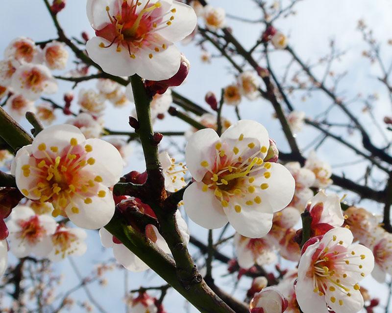 院内樱花盛开